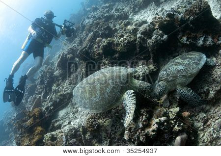 Diver Near Pair of Green Turtles