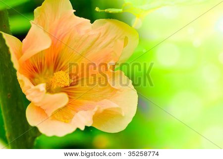 Summer Pink  Flower