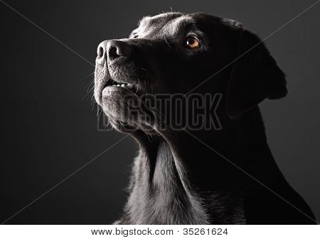 Low Key Labrador