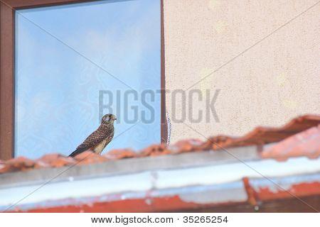 Falco In Urban Area