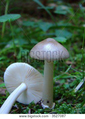 Grisette Mushroom