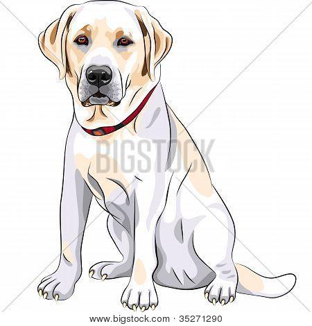 Vector bosquejo amarillo perro raza Labrador Retriever sesión