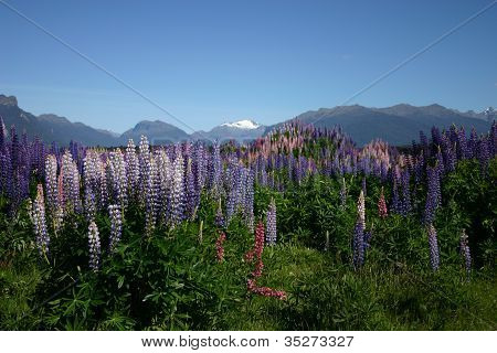 Field Of Lupins At Milford Sound New Zealand