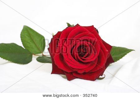 Beautiful Rose Over White