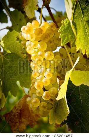 yellow grape