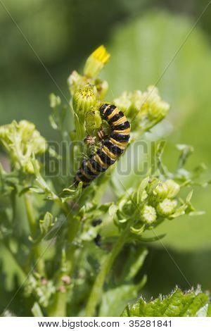 Cinnabar Caterpillar (tyria Jacobaeae)