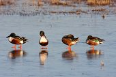 picture of apache  - Male Northern Shovelers  - JPG