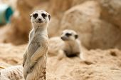 picture of meerkats  - Suricate or meerkat standing watchful guard position - JPG