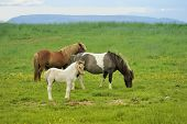 stock photo of iceland farm  - two horses with colt pastures at green meadow in Iceland - JPG