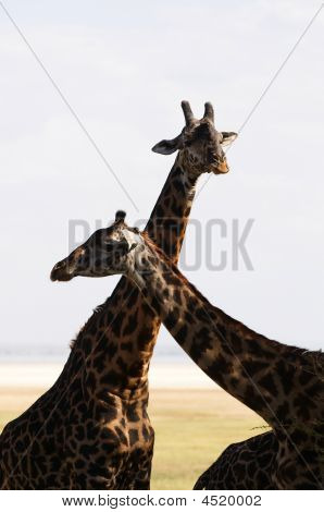 Family Of Giraffe