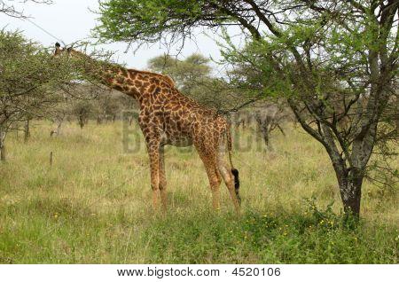 Giraffe - The Tallest African Mammal
