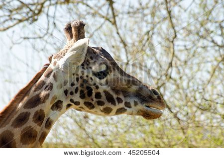 Profile of Rothschild Giraffe