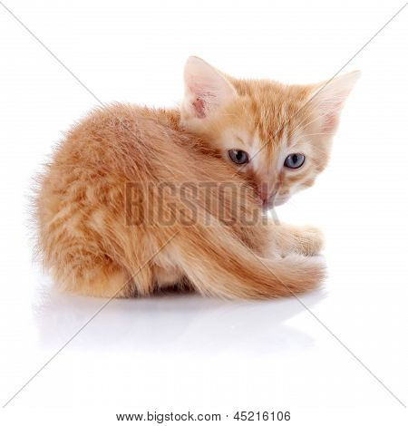 Small A Red Kitten On A White Background.