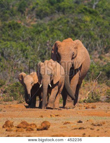Família elefante