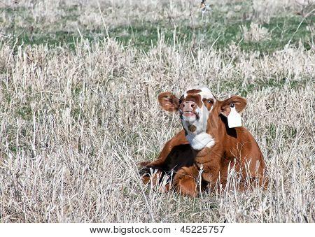 Smiling calf