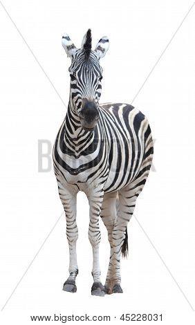 zebra isolated on white background