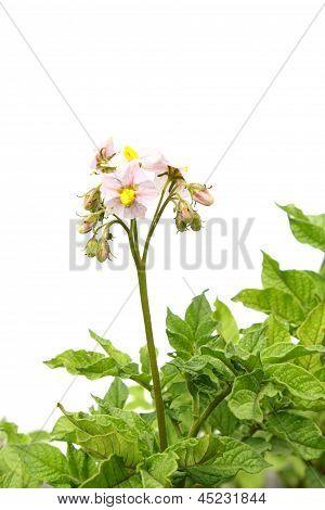 Potatoes Blossomed Flowering