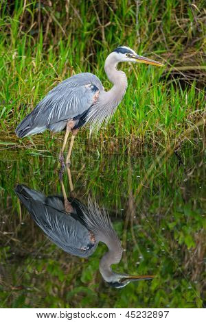 Great blue Heron en Everglades NP, Florida