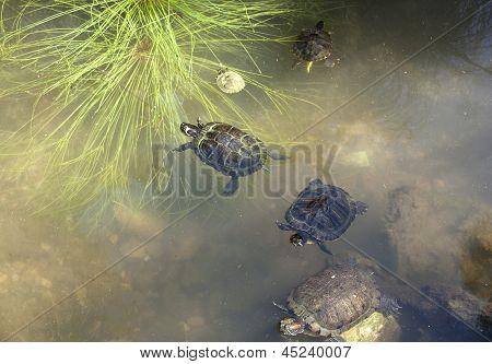 Turtles Underwater