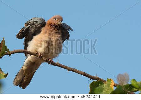 Laughing Palm Dove Fluffing Feathers