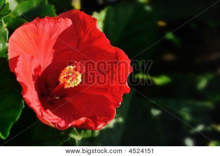 Flamenco Style Hibiscus