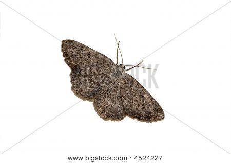 Geometrid Moth On A White Background