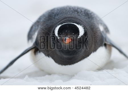 Gentoo Penguin On Belly In The Snow