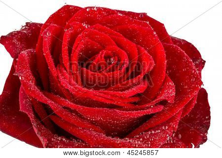 a red rose against white background. photo icon for beauty, love, valentine's day