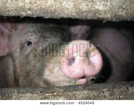 Head Of A Pig With The Big Pink And Dirty Snout