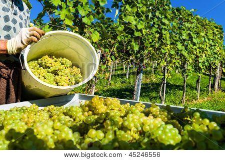 vintage em um enólogo de vinha. vinha no outono. uvas maduras são colhidas.