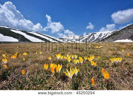 Spring crocus flowers in snow