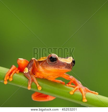 red tree frog climbing in Amazon rain forest. Small amphibian with big eyes, Dendropsophus leucophyllatus from tropical jungle of Peru, Brazil, Bolivia, Colombia and Ecuador