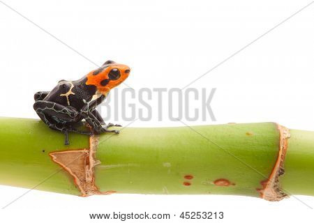 Poison arrow frog on branch isolated. Tropical small exotic amphibian from Amazon jungle in Peru kept as pet animal in a jungle terrarium. Macro of beautiful poisonous amphibian ranitomeya fantastica