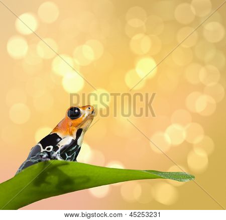 frog on tropical background with copy space. Poison dart frog Ranitomeya fantastica. Exotic pet animal from Amazon rainforest in Peru, Iquitos.