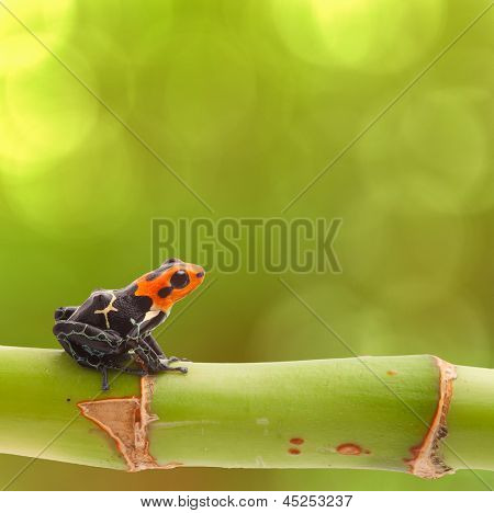 Poison arrow frog on branch green background Tropical small exotic amphibian from Amazon jungle Peru Iquitos Macro of beautiful cute poisonous amphibian ranitomeya fantastica natural purity copy space