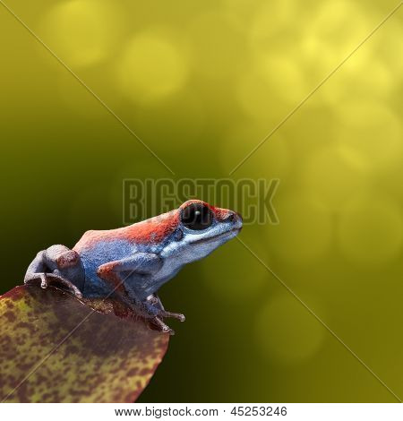 Strawberry poison dart frog, Oophaga pumilio from the little island Escudo in the Bocas Del Toro achipelago Panama. Beautiful small amphibian bright and blue Vibrant nature background with copy space.