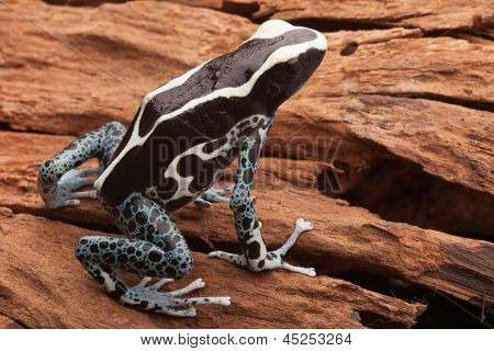 poison dart frog, Dendrobates tinctorius Arawape beautiful tropical Amazon rainforest amphibian. These exotic animals are often kept as exotic pet in terrarium and live in the Rain forest of Suriname