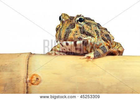 Pacman frog or toad isolated, South American horned frogs Ceratophrys ornata   Tropical rain forest animal in Amazon rainforest of Brazil Argentina and paraguay kept as exotic pet animal