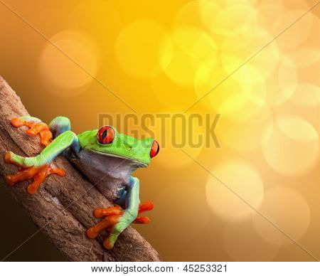 red eyed tree frog on vibrant background in tropical rainforest treefrog Agalychnis callydrias in jungle Costa Rica bright vivid colors