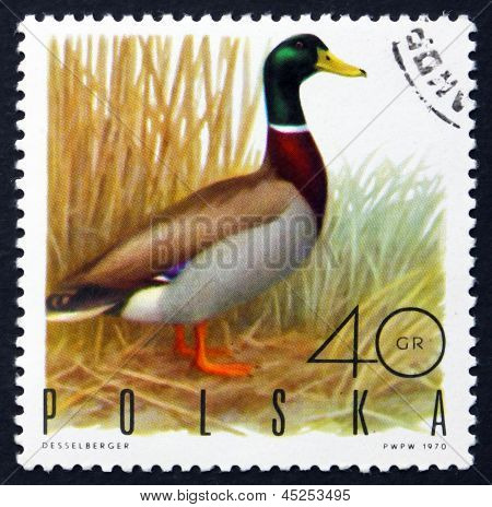 Postage Stamp Poland 1970 Mallard Drake, Game Bird