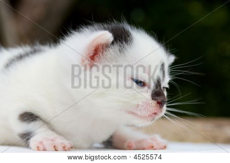 Newborn Black And White Kitten