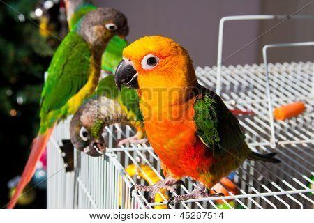 Cute Sun Conure Parrot and Green Cheek Parakeet