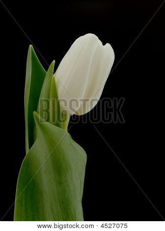 White Tulip With Black Background