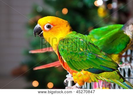 Cute Sun Conure Parrot and Green Cheek Parakeet