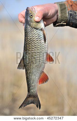 Fisherman Holding His Catch, European Chub Fish