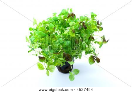Green Oregano