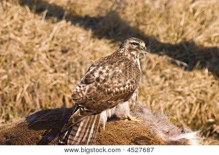 Falcon Eating