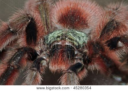 Portrait Of A Bird Spider Acanthoscurria Geniculata