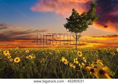 Lopsided Tree In A Sunflower Field