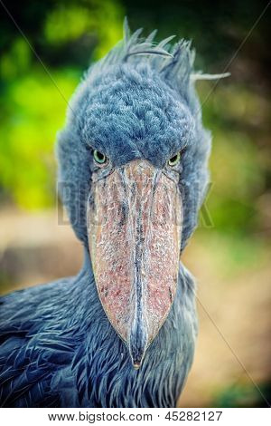 African Shoebill  (Balaeniceps rex)  also known as Whalehead or Shoe-billed Stork